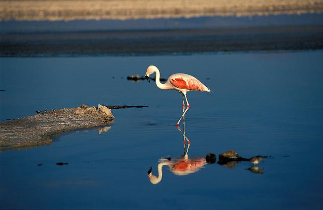 Desert de  l'Atacama. Flamant rose (chileno) a la lagune Chaxa. *** Flamingo, Chaxa laguna, Atacama desert.