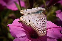 The White Peacock (Anartia jatrophae) is a species of butterfly found in the southeastern United States, Central America, and throughout much of South America.The males of the species display a unique territorial behavior, in which they stake out a territory typically 15 meters in diameter that contains larval host plants. They perch in this area and aggressively protect it from other insects and other male white peacocks. Wing span: 2 - 2 3/4 inches (5.1 - 7 cm).