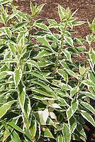Phlox paniculata 'Norah Leigh' variegated foliage