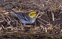 Hermit Warbler - Dendroica occidentalis - female