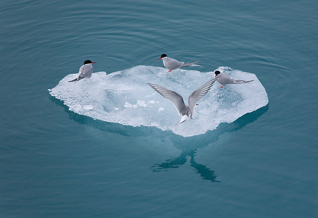 Arctic terns rest on a piece of iceberg ice by Lilliehookbreen. Spitsbergen