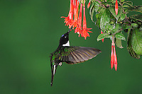 Collared Inca (Coeligena torquata), male feeding from fuchsia flower, Papallacta, Ecuador, Andes, South America