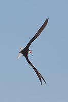 Black Skimmer (Rynchops niger) in-flight, Nickerson Beach, Lido Beach, NY