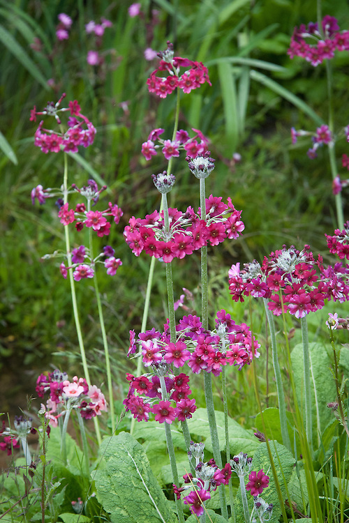 Maroon Primula pulverulenta (Mealy primrose), mid May. The Laurent-Perrier Chatsworth Garden designed by Dan Perarson, RHS Chelsea Flower Show 2015.