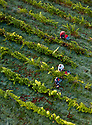 "07/09/18<br /> <br /> ***With Video***<br /> <br /> Grape picking starts at Amber Valley Wines in Wessington, Derbyshire. Managing Director, Barry Lewis, said: ""The hot summer means that yields from the vineyard are expected to be three times better than normal, reflecting a UK-wide harvest that is likely to be the best since the second world war"".<br /> <br /> <br /> All Rights Reserved: F Stop Press Ltd. +44(0)1335 344240  www.fstoppress.com www.rkpphotography.co.uk"