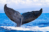 humpback whale, Megaptera novaeangliae, fluke, Kohala Coast, Big Island, Hawaii, USA, Pacific Ocean