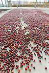 Coffee beans drying on a concrete slab at the Ka'u Coffee Mill, in the district of Ka'u on the Big Island of Hawaii, USA, America