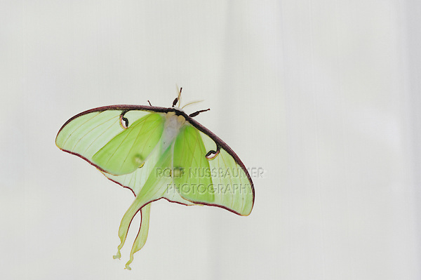 Luna Moth (Actias luna), adult perched on curtains, New Braunfels, Texas, USA