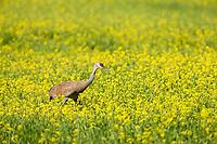 Sandhill crane, Creamer's field migratory waterfowl refuge, interior, Fairbanks, Alaska