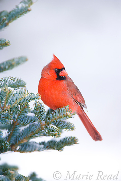 Northern Cardinal (Cardinalis cardinalis) male perched in conifer in winter, New York, USA