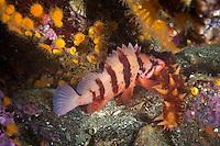 Tiger Rockfish   Haida Gwaii