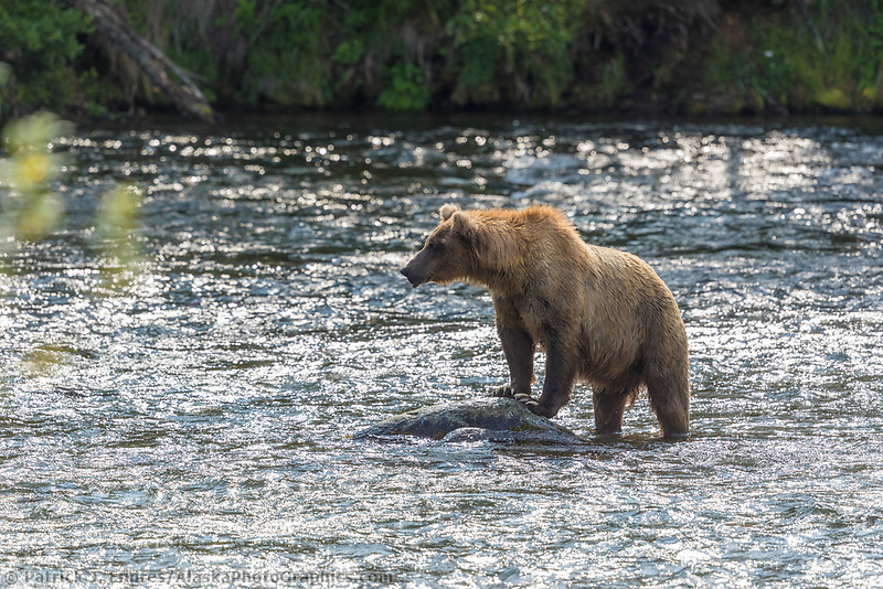 Brown bear stands on a rock in the Brooks River, Katmai National Park, Alaska