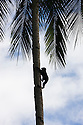 Young crested black macaque climbing coco nut palm tree, (Macaca nigra), Indonesia, Sulawesi; Endangered species, threatened through loss of habitat and bush meat trade, species only occurs on Sulawesi.