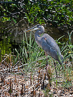 Great Blue Heron walking in marsh in evening light