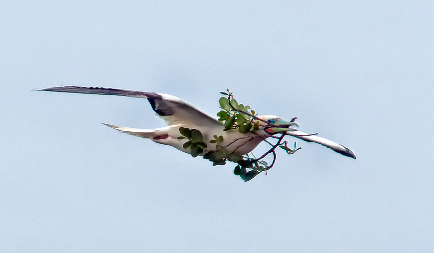 Red-footed booby (Sula sula) carrying nesting materials in flight, seen at the Kilauea Point National Wildlife Refuge, Kauai, Hawaii