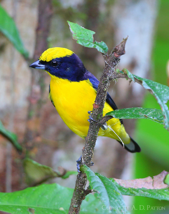 Male thick-billed euphonia