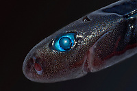pygmy shark, Euprotomicrus bispinatus, Kona, Big Island, Hawaii, USA, Pacific Ocean