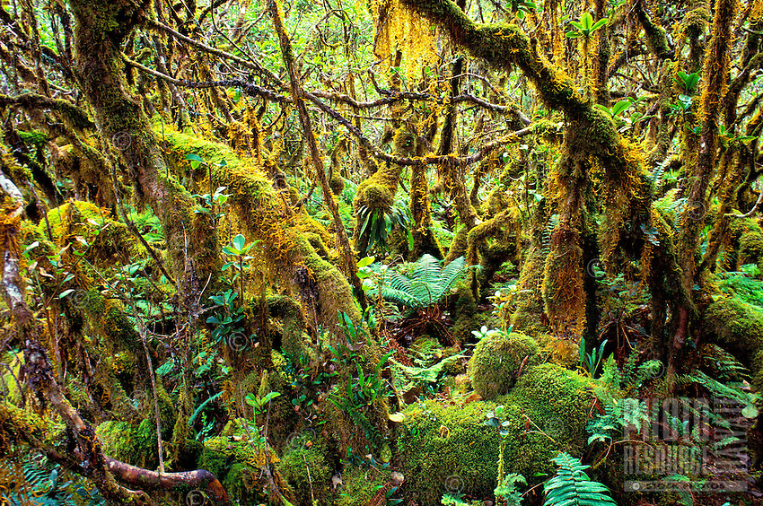 Pristine rainforest with mosses growing on the trees.