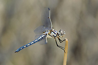 389270011 a wild female bleached skimmer libellula composita near a large pond in southern inyo county california