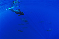 short-finned pilot whales, Globicephala macrorhynchus, accompanied by oceanic whitetip sharks, Carcharhinus longimanus, off Kona Coast, Big Island, Hawaii, Pacific Ocean
