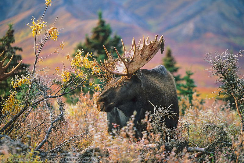 Large bull moose stands in morning frost covered taiga, Denali National Park, Alaska