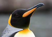 King Penguin Portrait, Gold Harbor, South Georgia Island, November 2007