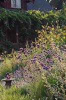 Perennial border with pollinator plants - Frey Garden. Mendocino, California. Sphaeralcea incana, Verbena bonariensis, Japanese sunflower (annual), Catmint Nepeta 'Walker's Low' - a late summer group of bee-friendly flowers.