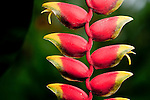 Lobster Claw Heliconia (Heliconia rostrata), Costa Rica.
