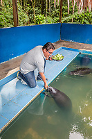 Captive Amazonian manatee, Trichechus inunguis, being fed at the Manatee Rescue Center, Iquitos, Loreto, Peru