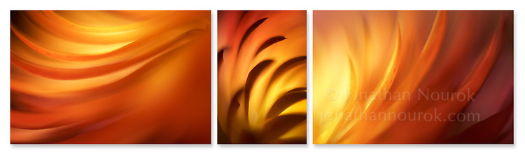 Close-up photographic triptych of a yellow, orange and red strawflower.