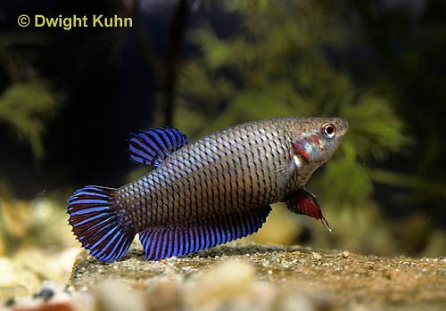 BY09-003z   Siamese Fighting Fish - female - Betta splendens