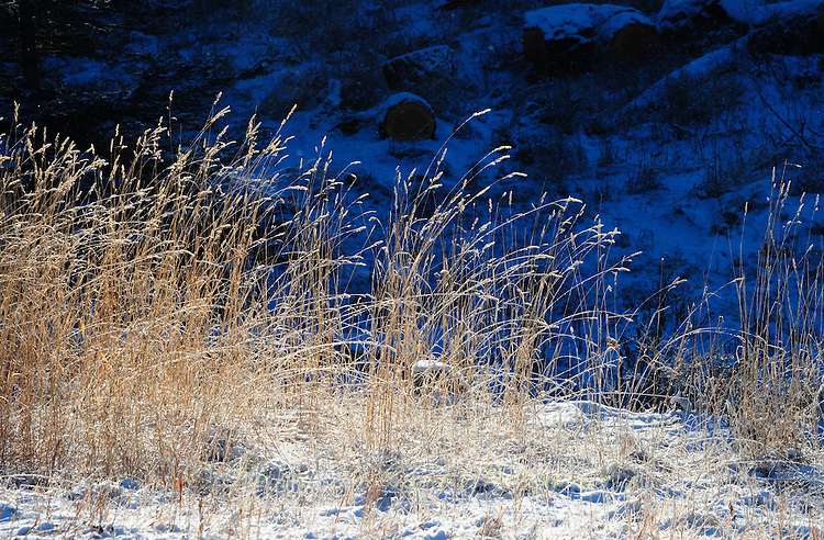 Tall yellow grass in winter.