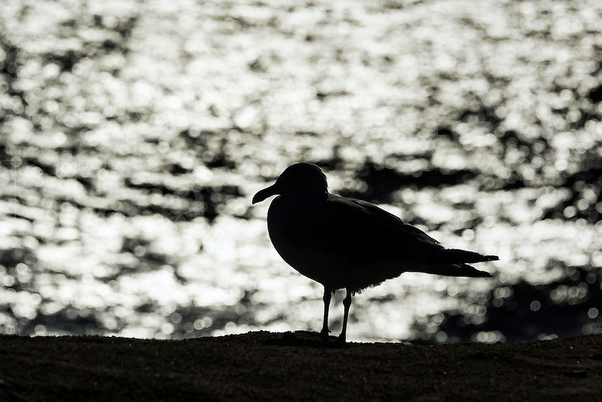 Seagull silhoutte against the ocean water, Cape Cod, USA