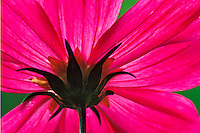View from below Cosmos flower, Louisville, Kentucky, Cosmos spp.