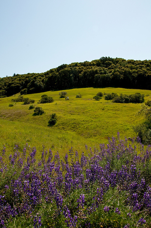 California wildflower travel: Blue bush lupine and landscape at Edgewood Park.Photo copyright Lee Foster.  Photo # cawild101779