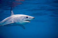 shortfin mako shark, Isurus oxyrinchus, nine-mile bank, San Diego, California, USA, Pacific Ocean