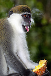 SODORE - ETHIOPIA - 11 APRIL 2004--Sodore, recreation centre in the East African Rift Valley.--A vervet monkey eating a pineapple. --PHOTO: JUHA ROININEN / EUP-IMAGES