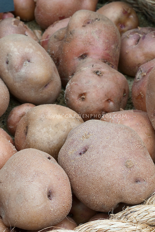 Potatoes 'The Yam' roundish variety with red skins