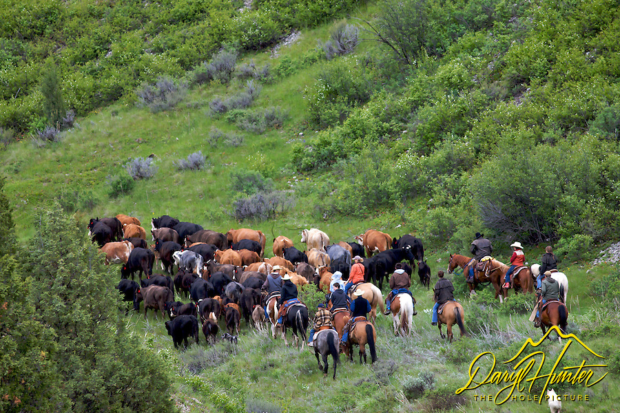 My photos are not to be used for anti public land ranching interests. Cattle Drive, Swan Valley Idaho. Cattle drive in Swan Valley Idaho. June is the time many ranchers move their cattle to the mountains so they can grow hay on their property so the cows will have something to eat when they come out of the mountains for the winter...The cowboys of the west are under assault because many don't like to see their cows on public land. I have written a couple of articles articulating the problem.