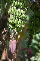 France/DOM/Martinique/ Macouba: Culture des Bananes à l'Habitation Crassous de Médeuil à Fonds-Préville