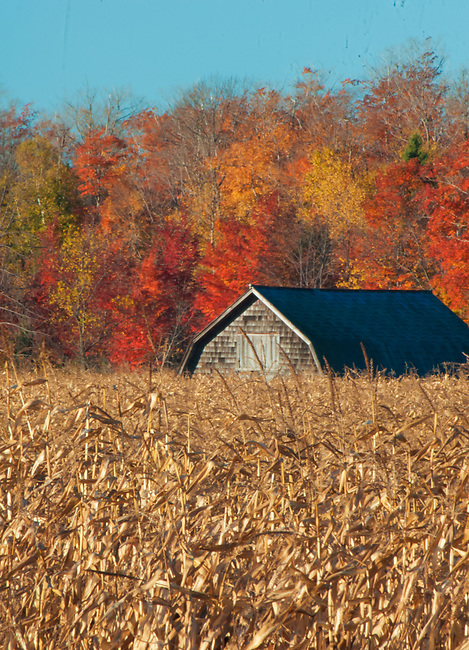 A distant barn peeks from the edge of a corn field, Door County, Wisconsin