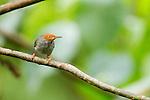 Ashy Tailorbird (Orthotomus ruficeps) male, Tawau Hills Park, Sabah, Borneo, Malaysia