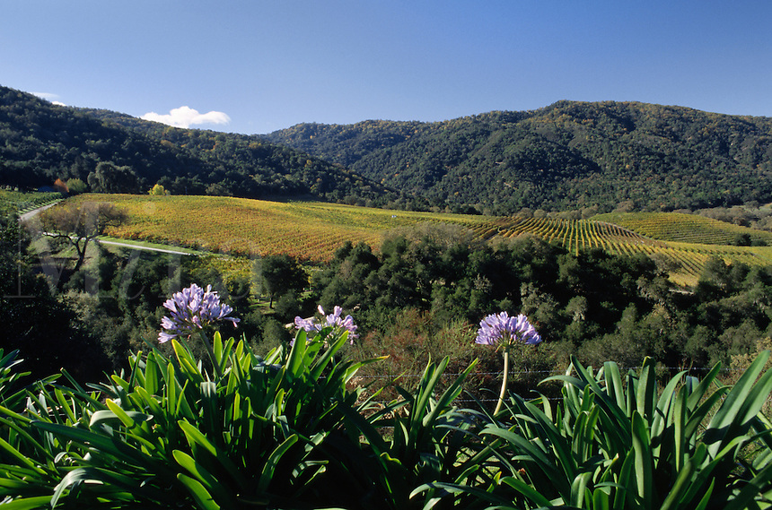 PURPLE AGAPANTHUS and WINE GRAPEVINES in a CARMEL VALLEY VINEYARD - MONTEREY COUNTY, CALIFORNIA