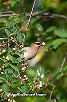 01415-02810 Cedar Waxwing (Bombycilla cedrorum)  eating berry in Serviceberry Bush (Amelanchier canadensis), Marion Co., IL