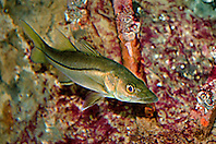 juvenile common snook, Centropomus undecimalis, taking refuge among mongrove roots, Caribbean Sea, Western Atlantic Ocean