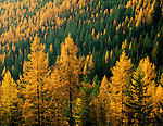 Colville National Forest, WA      <br /> Fall colors of Western Larch (Larix occidentalis) stand out on a hillside of the Kettle Mts. at Sherman Pass
