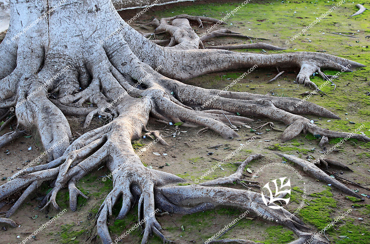 Expanding long roots of a tree surfacing on ground.
