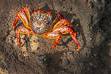 GALAPAGOS ISLANDS, ECUADOR, Tangus Cove, sally lightfoot crabs on the rocks near the water on the NW side of Isabela Island