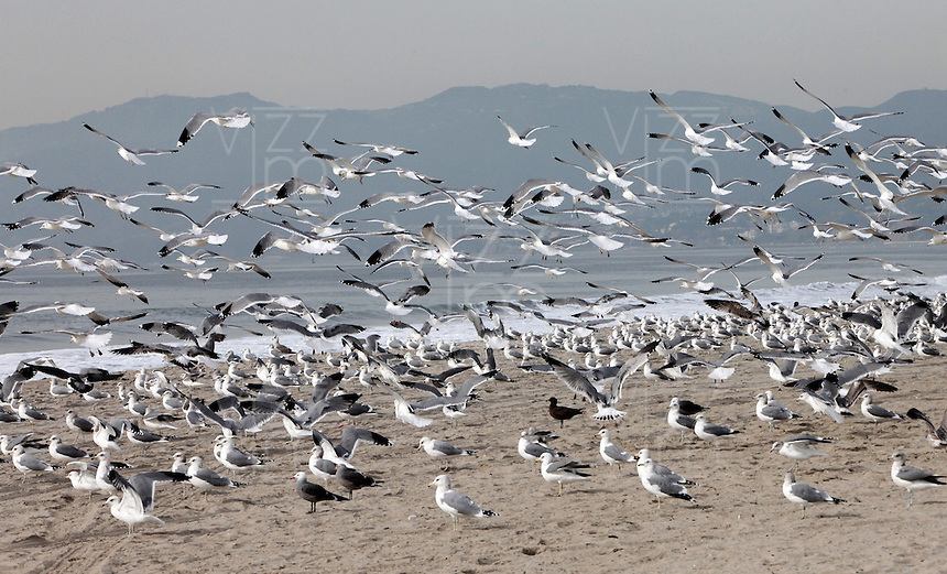 SANTA MONICA-ESTADOS UNIDOS. Las playas de Santa Monica y sus cantidades de gaviotas son unos de los atractivos turisticos de esta ciudad del condado de Los Angeles.  Photo: VizzorImage
