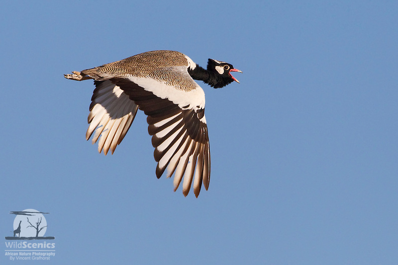 Northern Black Korhaan in flight